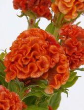 Orange Cockscomb Seeds, Heirloom Seeds, Non-Gmo Annual, Very Unusual Blooms 50+