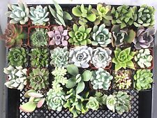"Jiimz 15 Beautifully Different 2.5"" Mixed Succulent Plants"