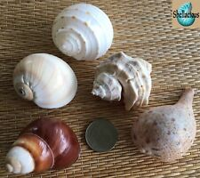5 Large Medium Sea Shells - Hermit Crab, Craft Or Collection