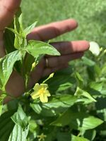 """Dwarf Mussaenda, Yellow , Beautiful Organic Gift Plant . 8+"""" Tall"""