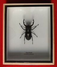 REAL BLACK STAG BEETLE LUCANUS SERICEUS INSECT TAXIDERMY FRAMED ENTOMOLOGY