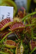 Plante de Dionaea Muscipula cultivar 'Cross teeth'