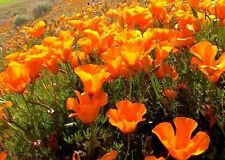 California Poppy Orange Wild Flower Seeds 1 lb 337,000 Seeds