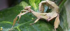 Phasmes Scorpion (EXTATOSOMA) - Lot de 30 oeufs fécondés.