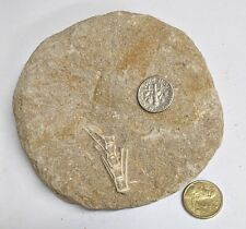 UNIDENTIFIED FOSSIL found in Moroccan Phosphate mines (L8831)