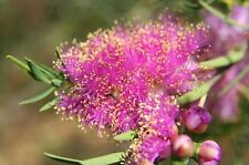 Melaleuca fulgens purple form in 50mm forestry tube native plant