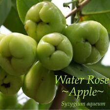 ~WATER ROSE APPLE~ Syzygium Aqueum Emerald Green Fruits Live Small potted Plant