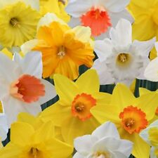 PRE-ORDER - 20 x Mixed Cornish Daffodil bulbs, Early Spring Flower bulbs.