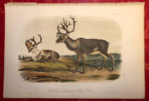 Audubon Quadrupeds of America Hand Colored Print: Caribou or American Rein Deer