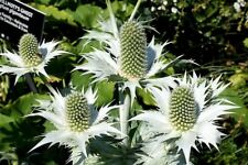 10 Silver Sea Holly Eryngium Giganteum Miss Willmott's Ghost Flower Seeds + Gift