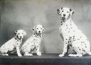Dalmatians - Adorable Original Vintage 15cm x 11.5cm Photograph