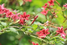 Jasmine Beesiaum red jasmine quart plant FREE SHIP
