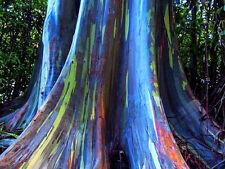 RAINBOW TREE Seedlings rainbow eucalyptus Tree FAST GROWING EASY To GROW
