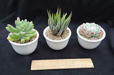 Wedding/gift succulent cuttings-four great types, shapes & contrast  60 cuttings