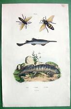 WASPS Skink Sawfish - SUPERB H/C Color Antique Print