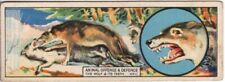 Wolves Use Powerful Jaws And Teeth To Hunt and Defend 1920s Trade Ad Card