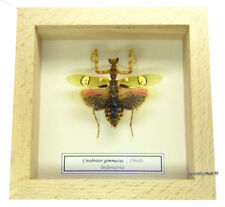 REAL MOUNTED FRAMED INSECT - Creobroter gemmatus - JEWELED FLOWER MANTIS
