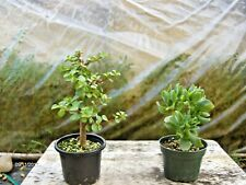 "Curly Combo! - 4"" Pots, Mini Jade & Curly Jade Prebonsai Trees, 2X Nice!"