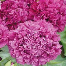 500 Poppy Seeds Peony Poppy Purple FLOWER SEEDS