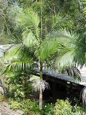 2x Alexander King Palm - Archontophoenix alexandrae Native - 75mm pots Seedlings