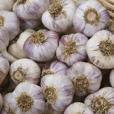 Garlic 100 cloves 'Red Duke' for  Hardy Bulb