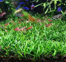 *Buy 2 Get 1 Free* Cryptocoryne Parva Crypt Parva Easy Live Aquarium Plants ✅