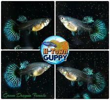 FEMALE ONLY x2 - Live Aquarium Guppy Fish High Quality - Green Dragon