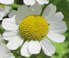 2500 Samen Echte Kamille (Matricaria chamomilla / recutita), Heilpflanze, Tee