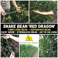 SNAKE BEAN 'Red Dragon' 15+ Seeds HEIRLOOM CLIMBING ASIAN VEGETABLE *LONG BEANS*