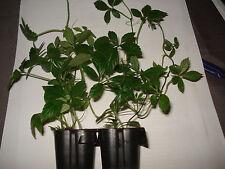 3 Jiaogulan Pflanzen Kraut der Unsterblichkeit Top Angebot kräftig