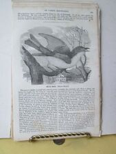 Vintage Print,BLUE BIRDS,American Magazine Useful Knowledge,1834