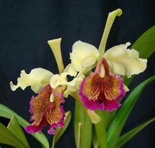 Cattleya dowiana var. aurea species orchid plant