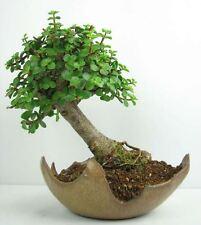 20 Stück Jadebaum Samen, Crassula Ovata , Pfennigbau, Geldbaum