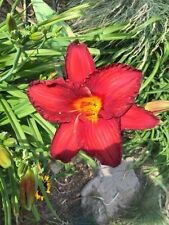 Daylily Chicago Apache bright red hemerocallis Perennial ~ Df or 2 Plants