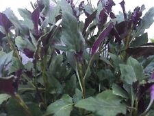 5 Okinawa Spinach, Handama, or Suizenjigusa, Gynura crepioides Cuttings