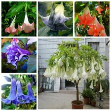 100Pcs Brugmansia Datura Seeds Many Colors To Choose Beautiful Decorative Plants