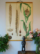 Original VINTAGE botanica scuola grafico di mais / granoturco & ORZO SMUT & FUNGO