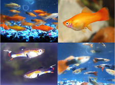 New listing (8) Swordtail & Guppy FishAssortment - Males & Females