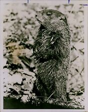 Ga58 Original Photo Groundhog Small Rodent Sharp Clawns Standing Up from Hole