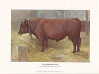 Ostfriesland Stier Rinderrassen FARBDRUCK von 1925 Reprint