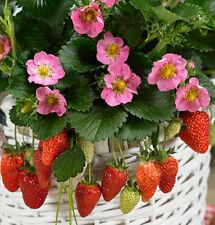 Giant Juicy Strawberry🍓35-Finest Seeds☆ Four Season🍓ONE Plant 3-5kg🍓UK