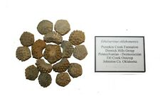 Carboniferous Pennsylvanian Crinoid fossils Ethelocrinus oklahomensis composite