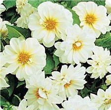 Dahlia - Figaro White Shades - 25 Seeds