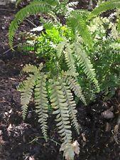 250 Maidenhair Fern Spores -USA GROWN