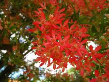 NSW Christmas Bush Seed Small Tree Good Cut Flower Native Cerapetalum gummiferum