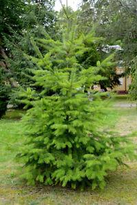 1 x DOUGLAS FIR (Pseudotsuga menziesii) 1.5ft AMAZING WILDLIFE TREE