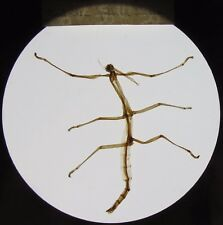 Glass Magic Lantern Slide A STICK INSECT C1900 REAL INSECT NOT A PHOTO