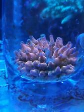 MARINE GREY// TAN ANEMONES LIVE CORAL Cheapest on