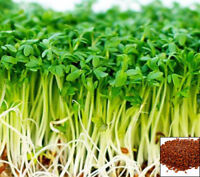Sprouting seeds - CRESS seeds Sprouts - 11 000 seeds - 30 GRAMS #1041