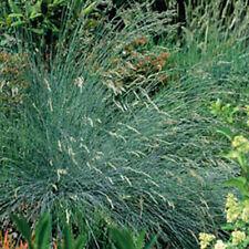 Grasses - Festuca Glauca, Blue Grass - 150 Seeds